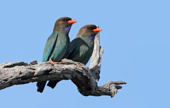 Dollarbird-ct580-580x368.jpg