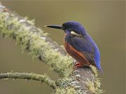Azure Kingfisher. Photo: John Hutchison