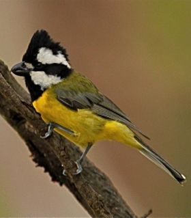 Crested Shrike-tit. Photo: John Hutchison