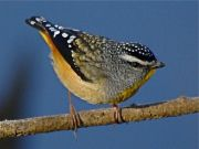 Spotted Pardalote, Photo: Ken Sherring