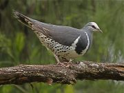 Wonga Pigeon. Photo: John Hutchison