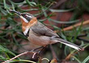 Western Spinebill by Rod Smith