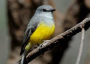 Western Yellow Robin by Mike Bouette