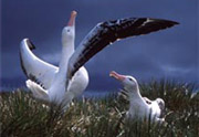 Wandering Albatross courting © Graham Robertson